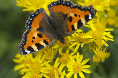 Mariposa que descansa sobre las flores y x28; Urticae& x29 del Nymphalis; Fotos de archivo libres de regalías