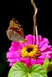 Mariposa que introduce Fotos de archivo