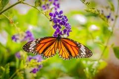 Mariposa que introduce en la flor Imágenes de archivo libres de regalías