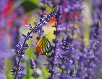 Mariposa que introduce en la flor Foto de archivo