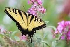 Mariposa que introduce en la flor Foto de archivo libre de regalías