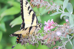 Mariposa que introduce en la flor Imagenes de archivo