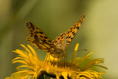 Mariposa que introduce en la flor amarilla Imagen de archivo