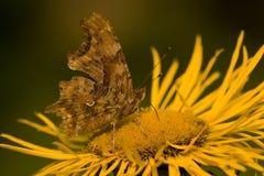 Mariposa que introduce en la flor amarilla Fotografía de archivo libre de regalías