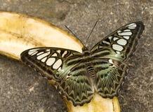 Mariposa que introduce en la fruta Imagenes de archivo