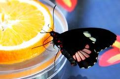 Mariposa que introduce en la rebanada de naranja Imagen de archivo libre de regalías