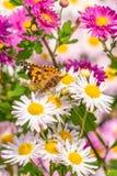 Mariposa que introduce en las flores Fotografía de archivo libre de regalías