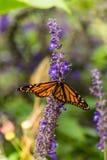 Mariposa que introduce en las flores Imagenes de archivo