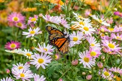 Mariposa que introduce en las flores Imagen de archivo