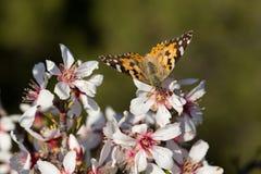 Mariposa que introduce en las flores Fotografía de archivo