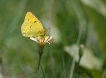 Mariposa que introduce en una flor Fotografía de archivo libre de regalías