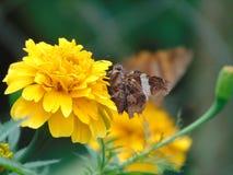 Mariposa que poliniza una flor amarilla Imagen de archivo libre de regalías