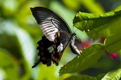 Mariposa que pone los huevos Foto de archivo