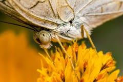 Mariposa que recoge el polen en una foto amarilla de la flor en primer extremo Imagen de archivo