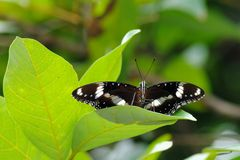 Mariposa que se coloca en la hoja Fotos de archivo libres de regalías