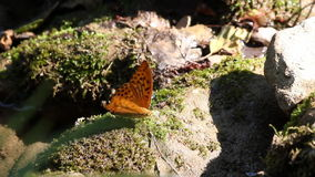 Mariposa que se coloca en roca metrajes