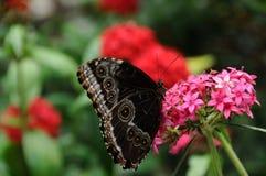Mariposa que se incorpora en cierre de la flor Imagen de archivo libre de regalías