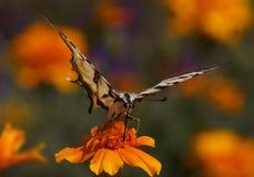 Mariposa que se sienta en la flor de la maravilla Foto de archivo