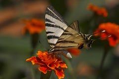 Mariposa que se sienta en la flor de la maravilla Fotografía de archivo libre de regalías