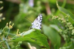 Mariposa que se sienta en la licencia verde en la mariposa hermosa del bosque, insecto en el hábitat de la naturaleza, licencia v fotografía de archivo