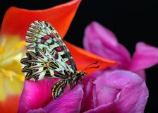 Mariposa que se sienta en las flores Mariposas de la primavera Adorno meridional Imágenes de archivo libres de regalías