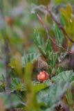 Mariposa que se sienta en morera falsa Foto de archivo