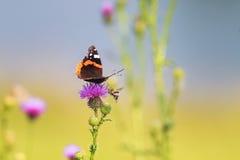 Mariposa que se sienta en puntos de una flor del rosa Imagenes de archivo