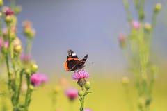 Mariposa que se sienta en puntos de una flor del rosa Imagen de archivo