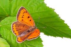 Mariposa que se sienta en un primer verde de la hoja Imagen de archivo