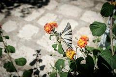Mariposa que se sienta en una flor imagenes de archivo