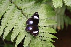 Mariposa que se sienta en una hoja Imagenes de archivo
