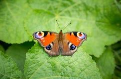 Mariposa que se sienta en una hoja verde Imagenes de archivo