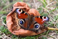 Mariposa que se sienta en una pera putrescente Fotos de archivo
