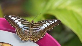 Mariposa rayada azul del tigre en el borde rosado del cuenco Imagenes de archivo