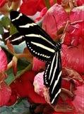 Mariposa rayada de la cebra en las flores rojas fotos de archivo