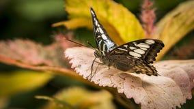 Mariposa rayada de Longwing del tigre fotos de archivo libres de regalías