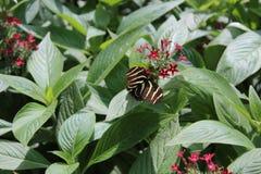 Mariposa rayada del primer Imágenes de archivo libres de regalías