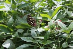 Mariposa rayada en medio del follaje Fotografía de archivo libre de regalías