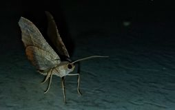 Mariposa resting in the dark. stock photography