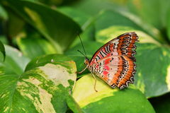 Mariposa roja de Lacewing Foto de archivo libre de regalías