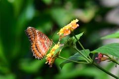 Mariposa roja de Lacewing Imagen de archivo libre de regalías
