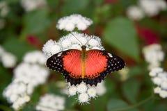 Mariposa roja de Lacewing Imágenes de archivo libres de regalías