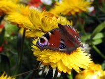 Mariposa roja en la flor foto de archivo