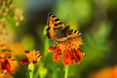 Mariposa roja en la flor roja Imagenes de archivo