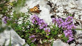 Mariposa roja en las flores de la montaña fotografía de archivo libre de regalías