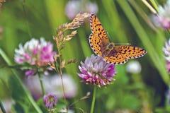 Mariposa roja en trébol de la flor Imagen de archivo libre de regalías