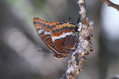 Mariposa roja en una rama Imágenes de archivo libres de regalías