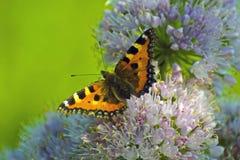Mariposa roja grande en las flores púrpuras Imagen de archivo libre de regalías