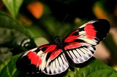 Mariposa roja, negra y blanca de Longwing, llave del piano foto de archivo