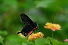 mariposa Rojo-corpórea de Swallowtails Foto de archivo libre de regalías